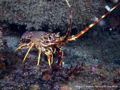 Medium Crawfish